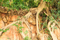 Roots tree on stone. Big roots of banyan tree on stone Stock Images