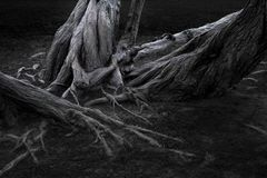 Roots and tree trunks. Roots and tree trunks on an old tree in Kings Gardens in Copenhagen, Denmark. Dark tones and clean earth Royalty Free Stock Image