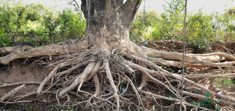 Roots of a tree Royalty Free Stock Images