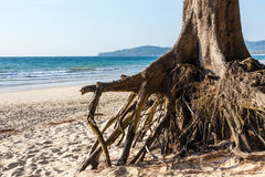 Roots of the tree after a violent storm. Bangtao Beach, Phuket, Thailand Royalty Free Stock Photos
