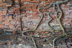 Roots tree on the wall at Wat Mahathat temple, Landmark of Ayutt. Haya, Thailand royalty free stock photos