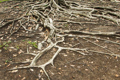 Roots Royalty Free Stock Photo