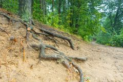 Roots of trees in autumnal forest. Stock Photography