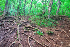 Roots of trees in the forest Royalty Free Stock Photography