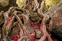 The roots of the trees are located on the Stone Stock Photos