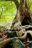 The roots of the trees are located on the Stone Royalty Free Stock Photography