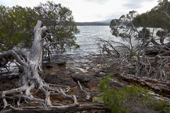 Roots and trees at the Mallacoota Inlet Stock Photography
