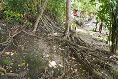 The roots of trees. Stock Image
