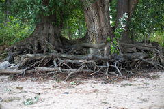 Roots of trees Stock Photos