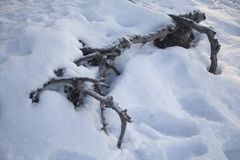 Roots of trees under the snow Stock Photography