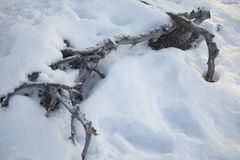 Roots of trees under the snow. Season landscape Stock Photo