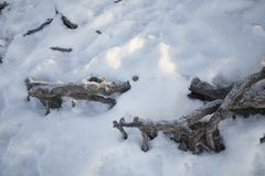 Roots of trees under the snow. Season landscape Stock Photography