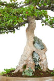 Roots of a trident maple is growing over a rock Stock Images
