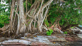 Roots of tropical mangroves on beach, Trunk and air roots backgr Royalty Free Stock Image