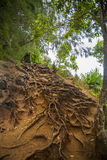 Roots on tropical mountainside. Winding brown reaching roots crawling along a mountainside path in Hawaii Stock Image