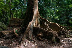 Roots of tropical tree. Brown big roots of a tropical tree in a garden of Hong Kong stock photo