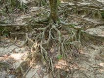 The roots of a tropical tree royalty free stock photography