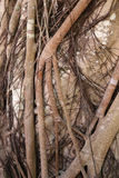 The roots of a tropical tree Stock Images
