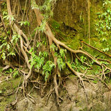 Roots of a tropical tree in the soil eroded by rain Stock Photos