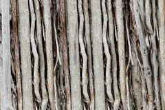 Roots or trunk of the banyan tree in the garden. Stock Images