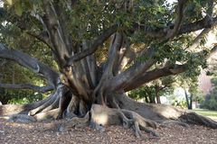 Ficus tree, roots and trunks of Ficus Tree, Perth, Australia stock photos