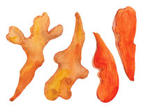 Roots of turmeric. Watercolor illustration  on white backgroundn Royalty Free Stock Images