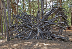 Roots of uprooted tree Stock Photos