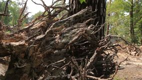 Roots of Uprooted Pine stock footage