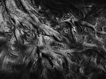 Roots. In vascular plants, the root is the organ of a plant that typically lies below the surface of the soil. However, roots can also be aerial or aerating ( Royalty Free Stock Photography