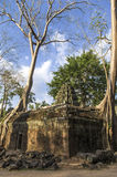 Roots visible above the ground. Roots of Sprung trees on Ta Prohm temple at Angkor in Siem Reap province Royalty Free Stock Photo