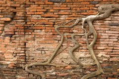 Roots On The Wall Royalty Free Stock Photo