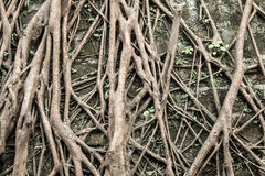 Roots. On the wall for long time Royalty Free Stock Photography