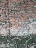 Roots on the wall. Tree on wall Royalty Free Stock Photo