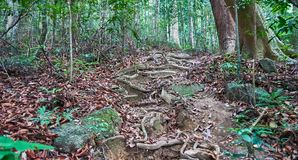 Roots on the way to top of Khoa Ra hill Royalty Free Stock Photos