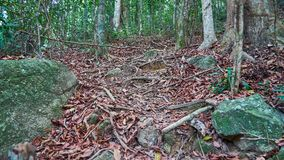 Roots on the way to top of Khoa Ra hill Stock Photo