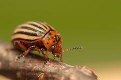 Rootworm Stock Photography