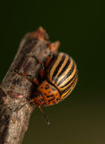 Rootworm. Colorado potato beetle - beetle - pest for crops in agriculture stock images