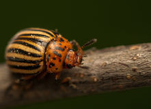 Rootworm. Colorado potato beetle - beetle - pest for crops in agriculture royalty free stock photo