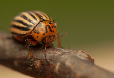 Rootworm. Colorado potato beetle - beetle - pest for crops in agriculture royalty free stock photography