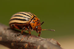 Rootworm Royalty Free Stock Photography