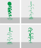 Сrop. Images of field crops. Vector image divided by layers Stock Image
