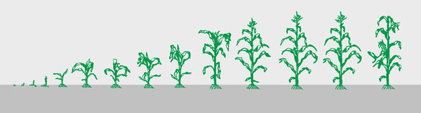 Сrop. Images of the growth of corn. Vector Image divided by layers Stock Photography