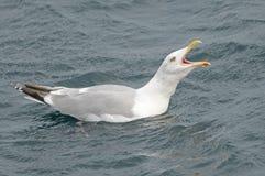 ropa för seagull Royaltyfria Bilder