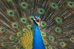 Ropa påfågeln på egen fjäderdräktbakgrund Arkivbilder