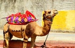Rope el camello sujetado en las calles de Jaipur Rajasthán la India imágenes de archivo libres de regalías