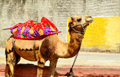 Rope fastened camel in the streets of Jaipur Rajasthan India Royalty Free Stock Images