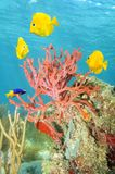 Rope sponge and colorful tropical fish Royalty Free Stock Photo