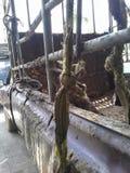 Rope sur la collecte qui emploient avec des bois en caoutchouc à l'usine, Hadyai, Songkhla, Thaïlande Images libres de droits
