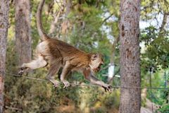 Rope-walking monkey Stock Image