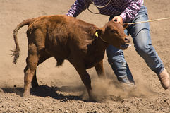 Roped calf. At 2006 Russian River Rodeo, Duncans Mills, California Stock Images